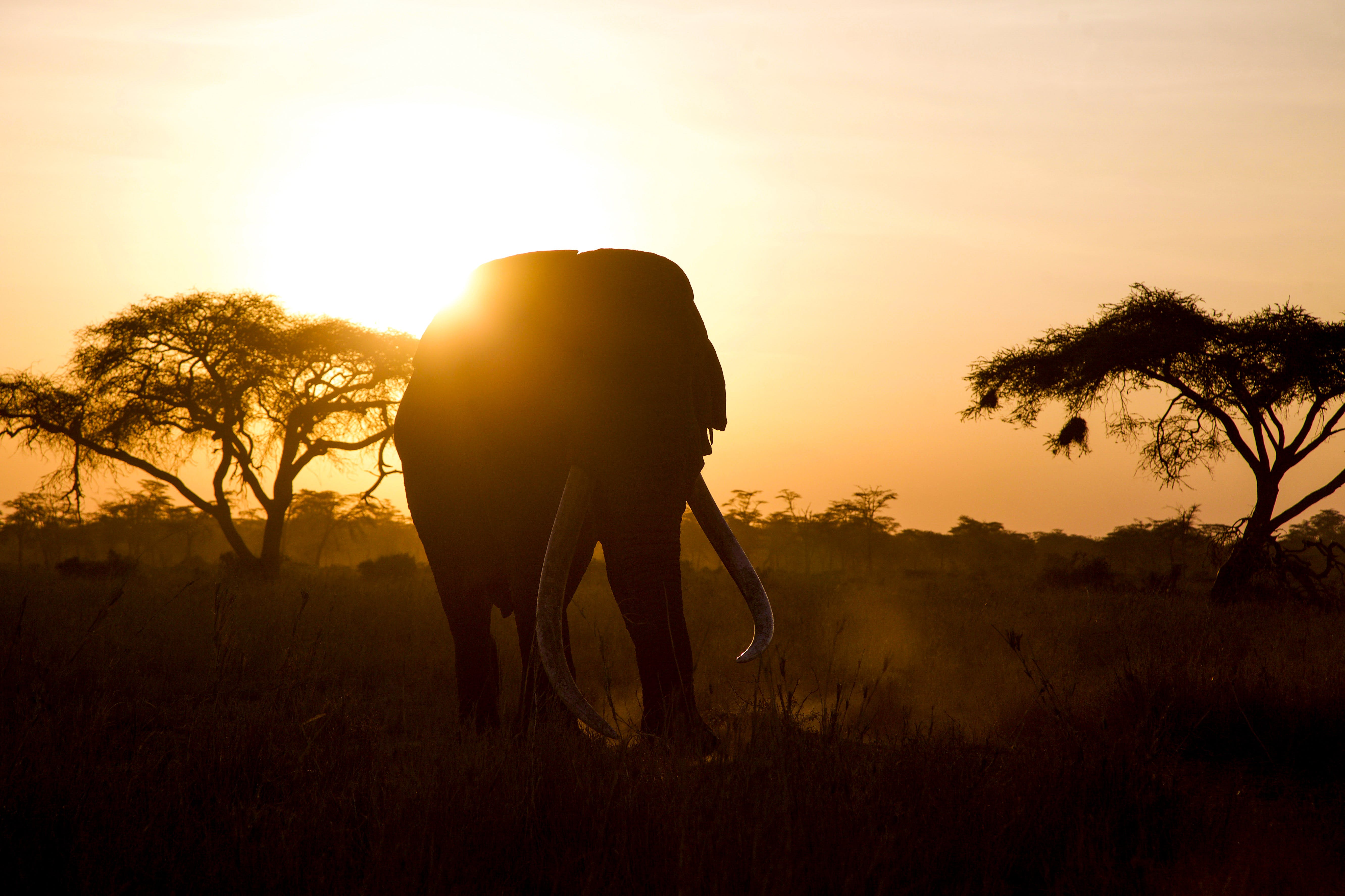 Silhouette of Elephant Walking During Golden Hour