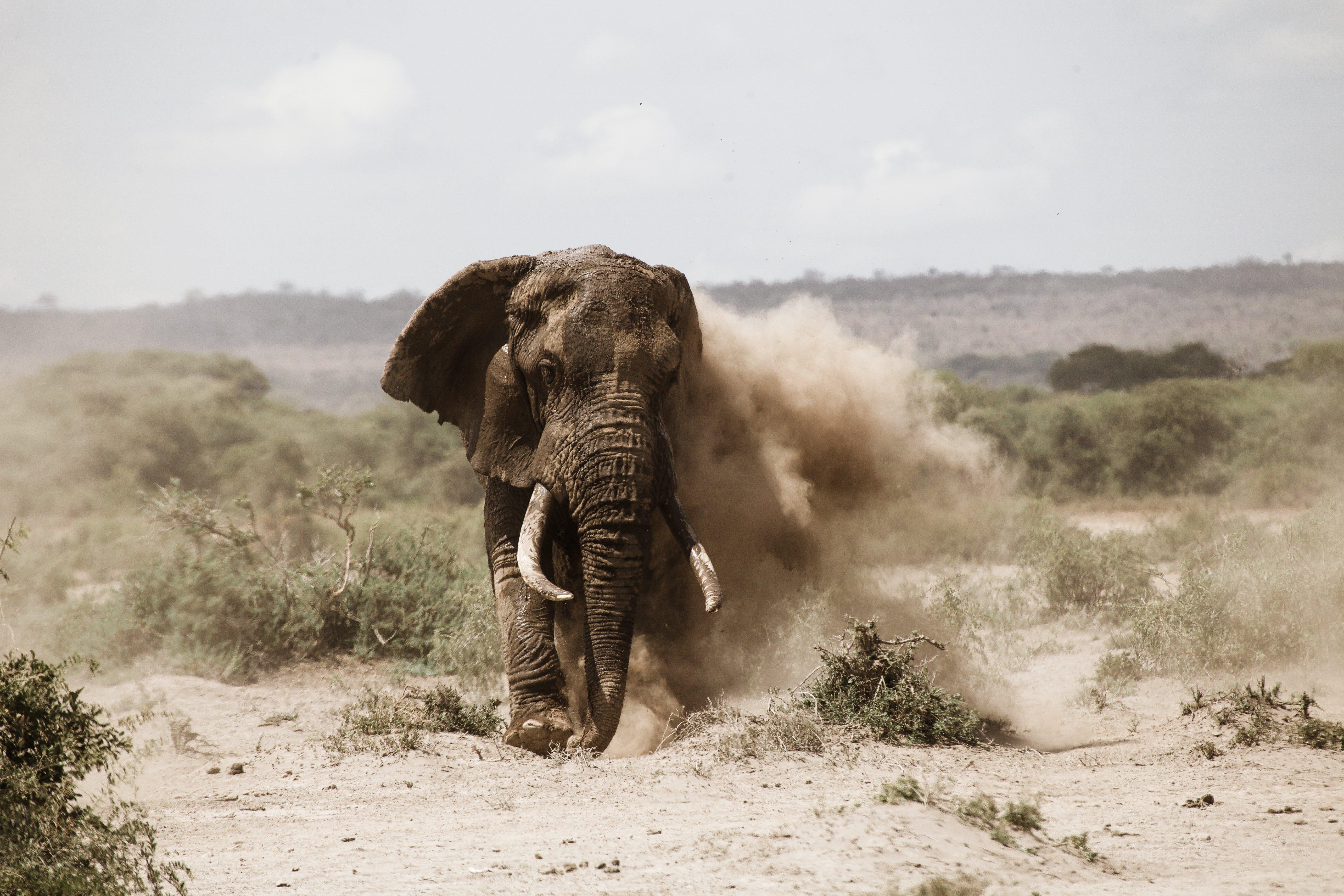 Elephant Running On The Field