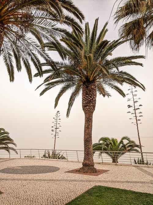 Free stock photo of beach, palm, palm tree, portugal
