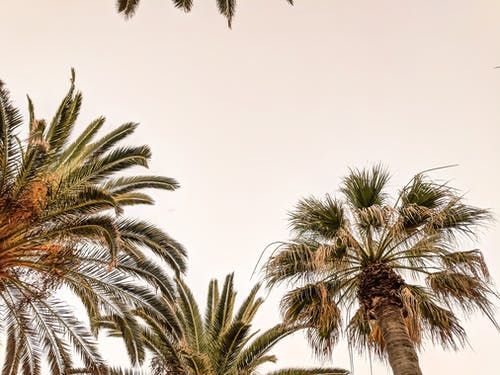 Free stock photo of negative space, palm, palm trees