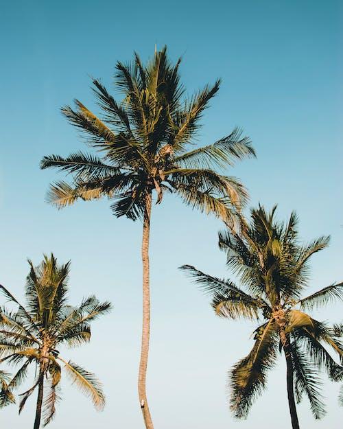 나무, 목가적인, 자연, 코코넛 나무의 무료 스톡 사진