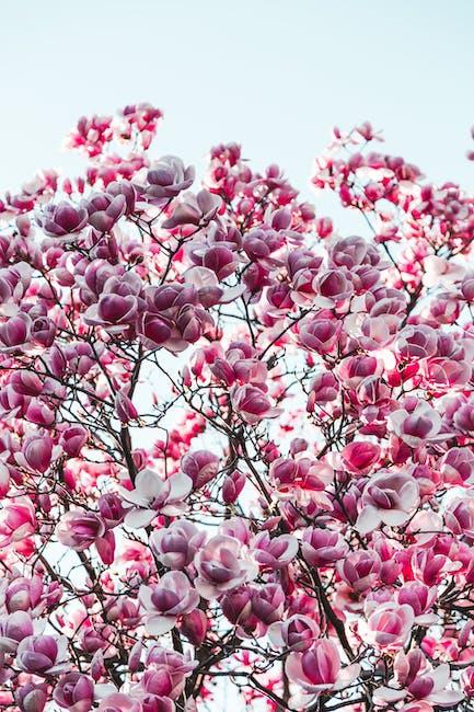 Purple and pink sakura tree photography