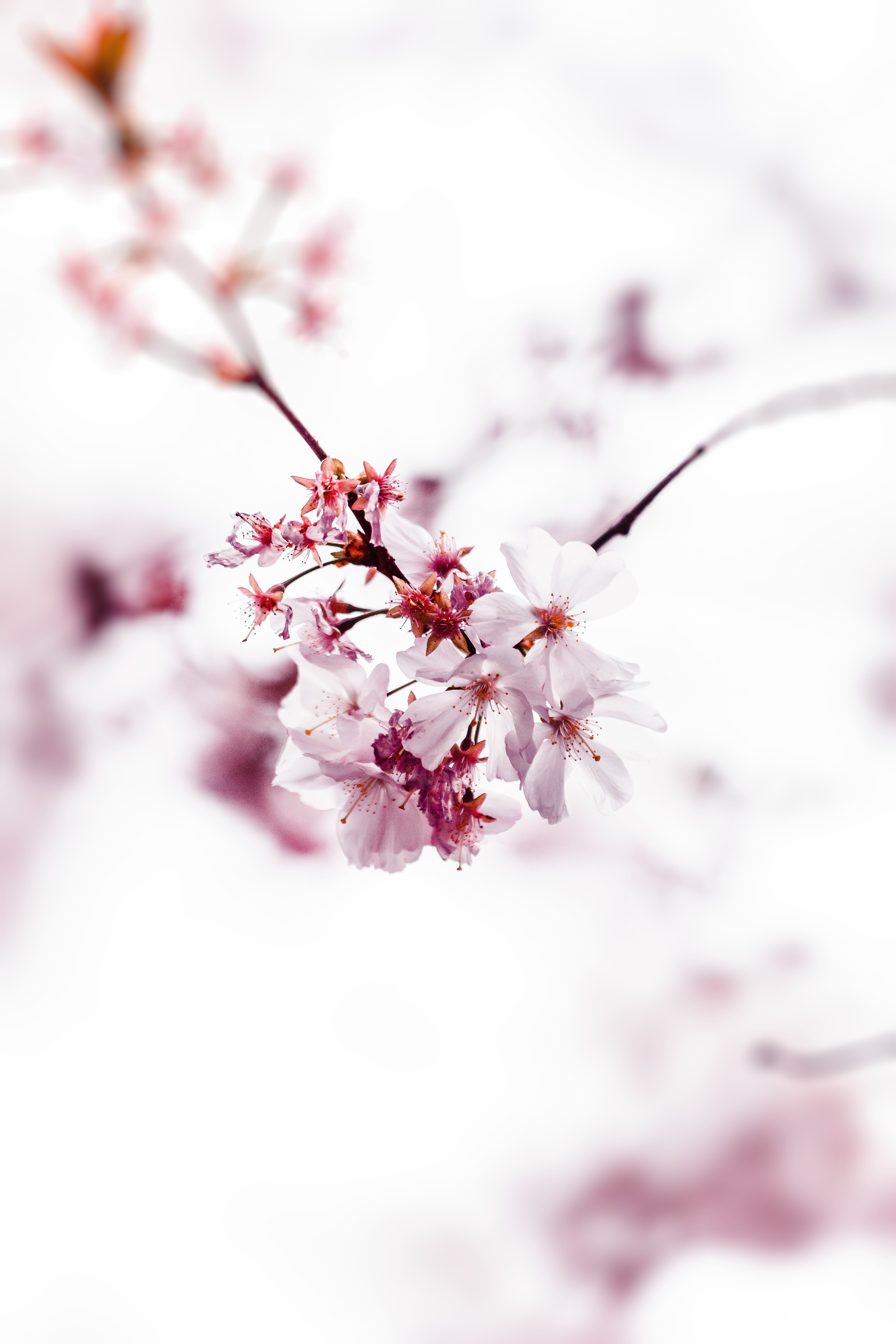 Selective Focus Photo of Cherry Blossom