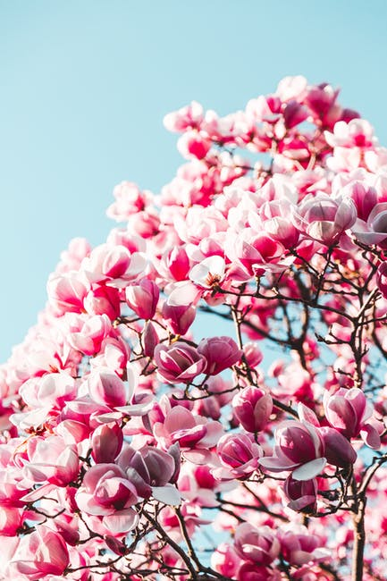Pink flowers under clear blue sky