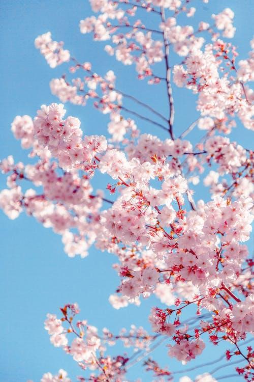 ág, alacsony szögű felvétel, cseresznyevirág
