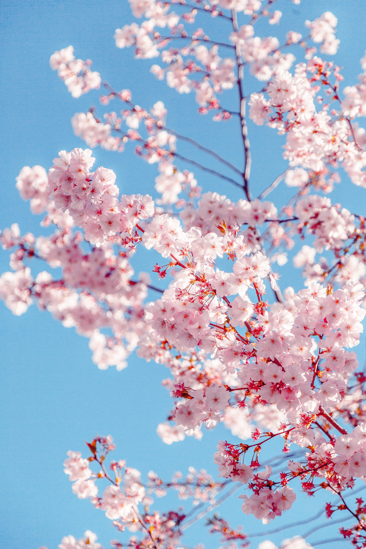 Sakura Welcome to