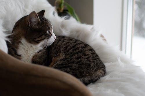 Free stock photo of cat, domestic cat, sleepy cat
