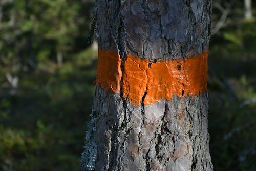 Free stock photo of coniferous