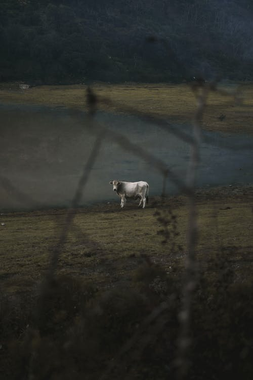 White Cow Near Shallow Water