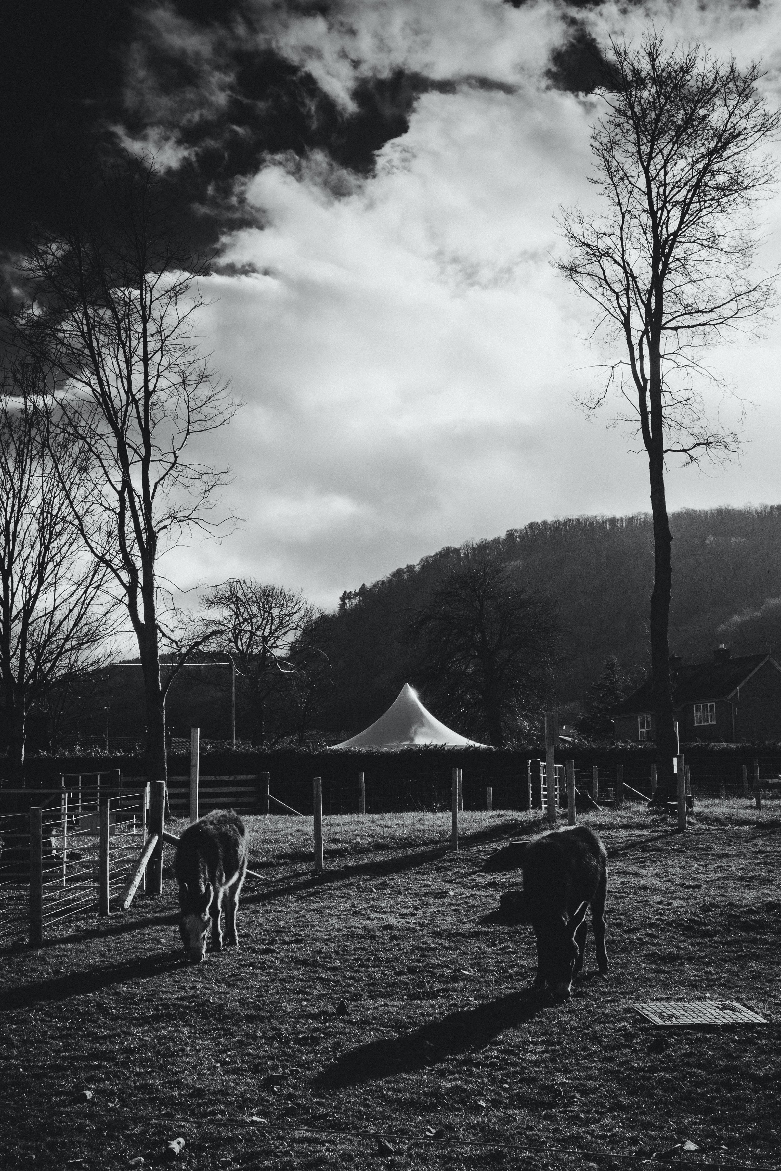 Grayscale Photo of Cattle on Field Near Bare Tree