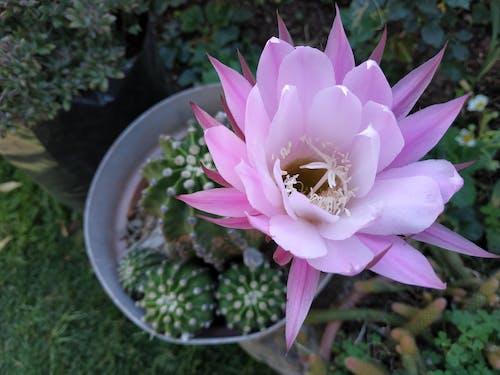 Ingyenes stockfotó kaktusz, kaktusznövény, kaktuszok, kaktuszvirág témában