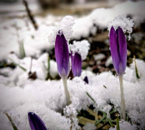 Free stock photo of crocus, snow