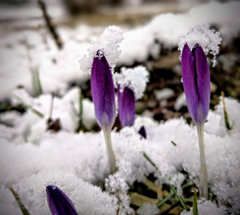 krokus, snö