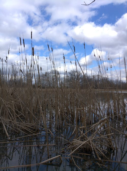 Free stock photo of cattails, clouds, wetland