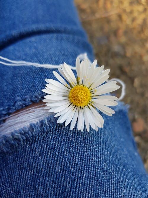 Бесплатное стоковое фото с маргаритка, маргаритка крупным планом, цветок