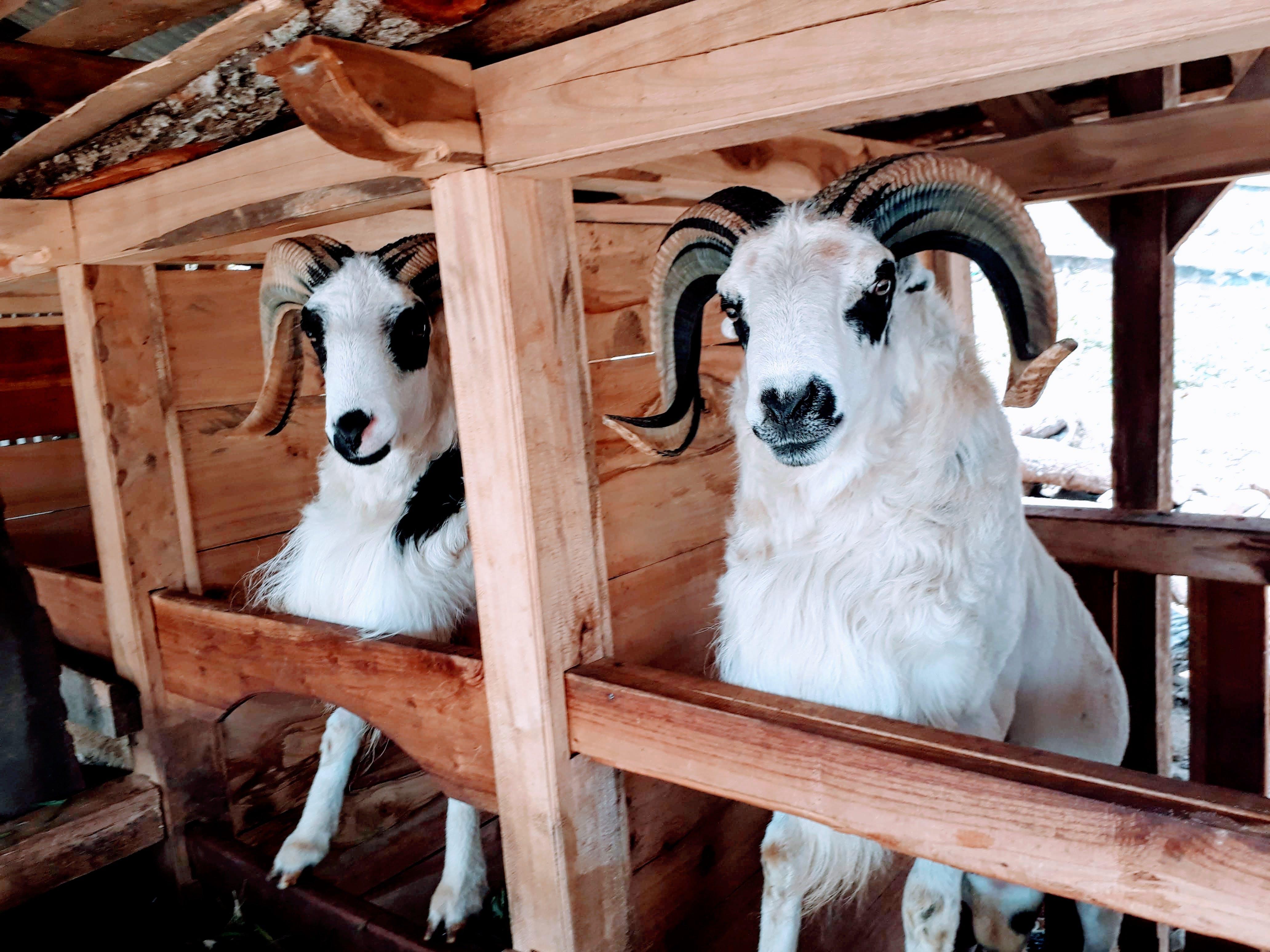 Δωρεάν στοκ φωτογραφιών με domba, άγριος, αγρότης, βόδια