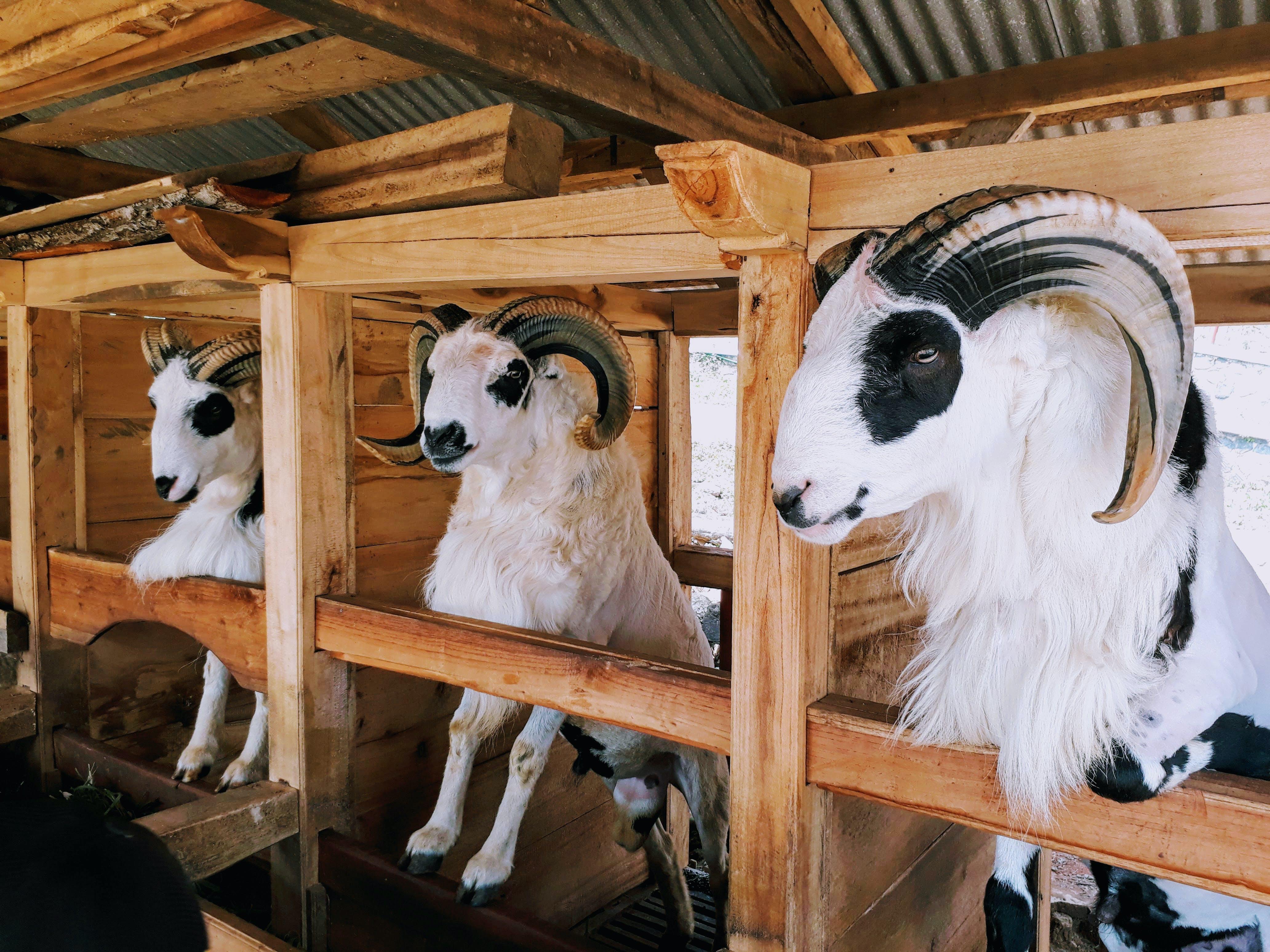 Základová fotografie zdarma na téma beranů, domba, farma, hospodářská zvířata