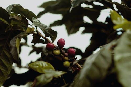 Základová fotografie zdarma na téma indonésie, káva, strom, temanggung