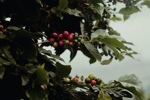 คลังภาพถ่ายฟรี ของ กาแฟ, อินโดนีเซีย, เชอร์รี่