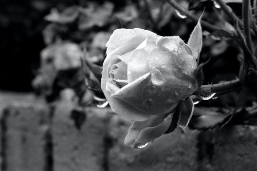 Free stock photo of black and-white, garden, nature