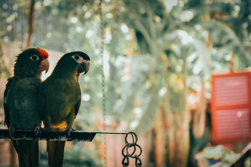 Kostenloses Stock Foto zu gehockt, hockend, papagei, tiere