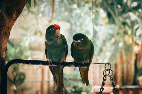 Two Green Parakeet Perched On Black Metal Rod