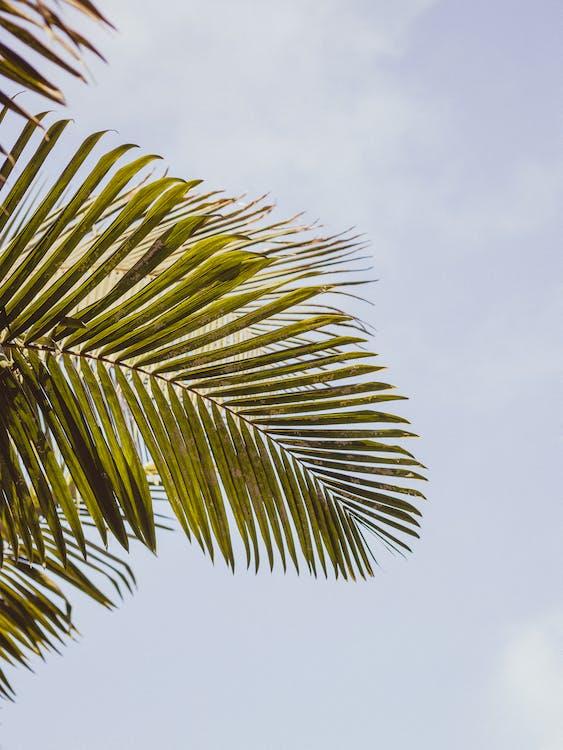 palma, palmový list, strom