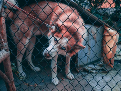 Brown And White Dog Behind Chain Link Fence