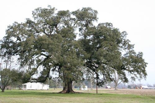 Free stock photo of live oak, louisiana, tree
