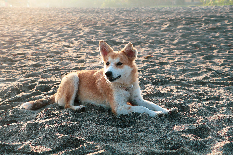 Free stock photo of alone, beach dog, dog, dog alone