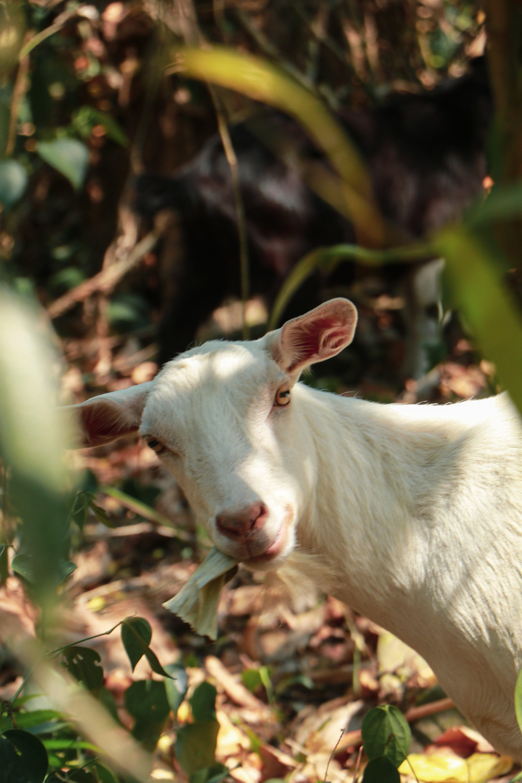 Free stock photo of eating goat, forest, goat, white goat