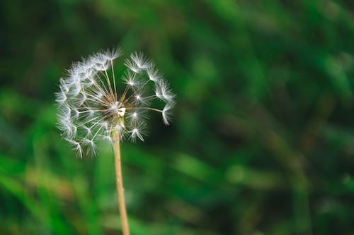 Free stock photo of dandelion, plant