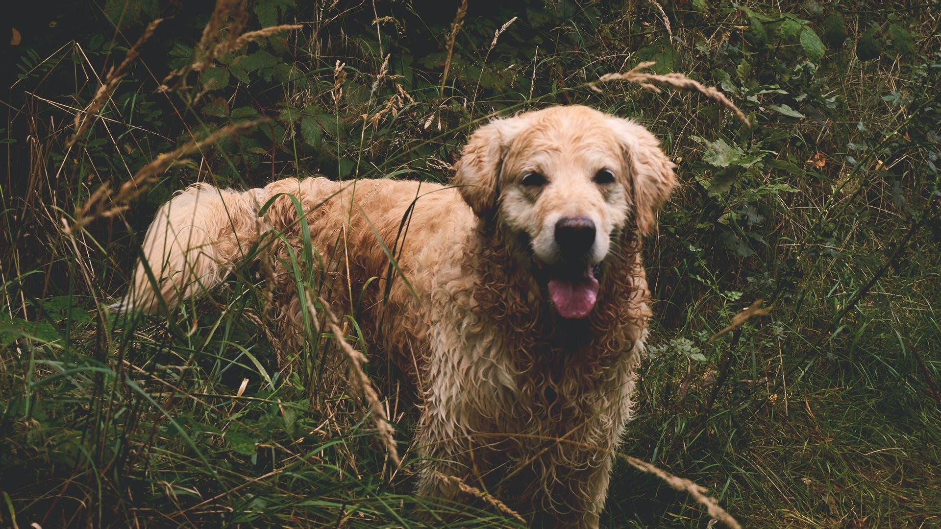 Adult Golden Retriever on Grass Field