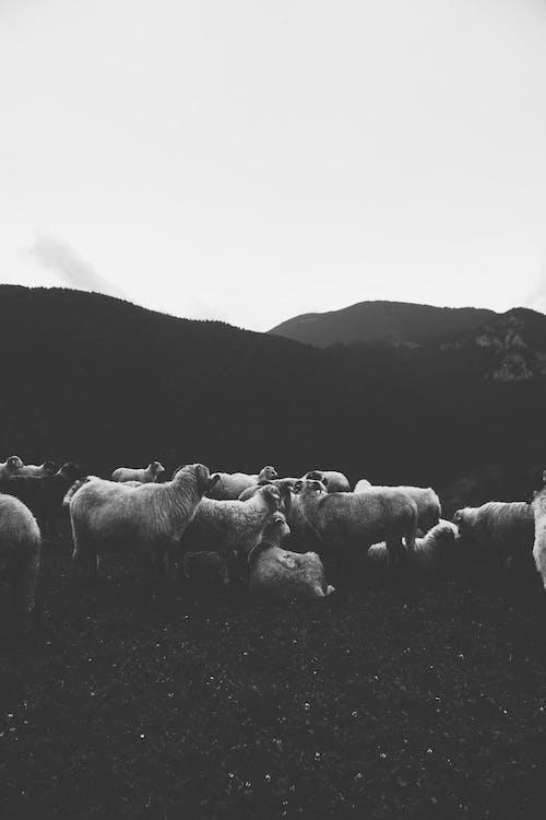 Immagine gratuita di agricoltura, azienda agricola, bianco e nero, erba