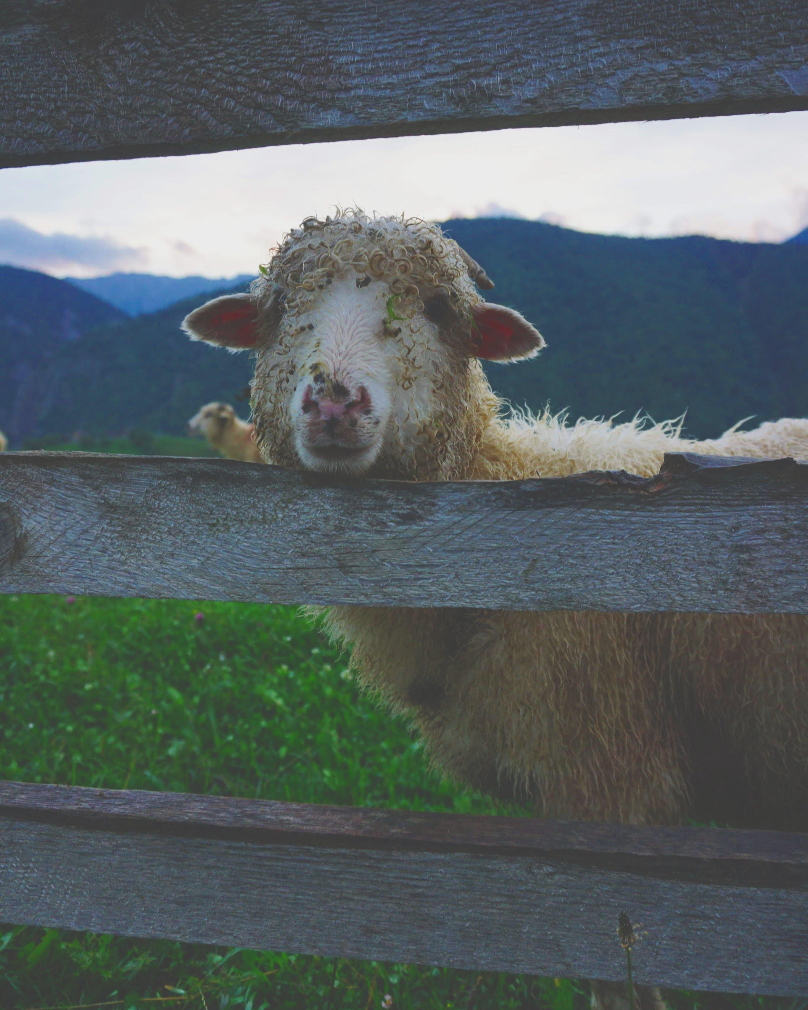 White Llama Near Fence