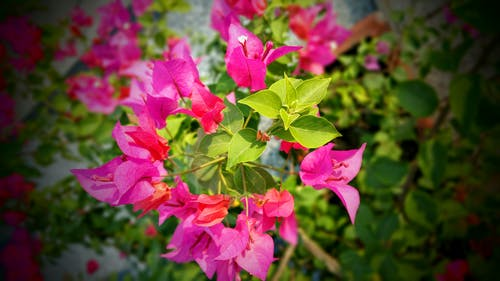 Pink and Green Leafed Plant Selective-focus Photography