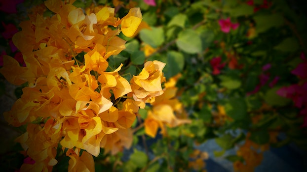 Orange and Green Bougainvillea Flower