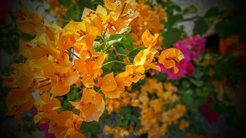 Orange and Pink Bougainvillea Flowers