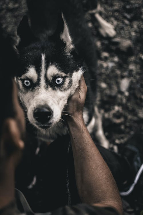 Person Holding White and Black Siberian Husky