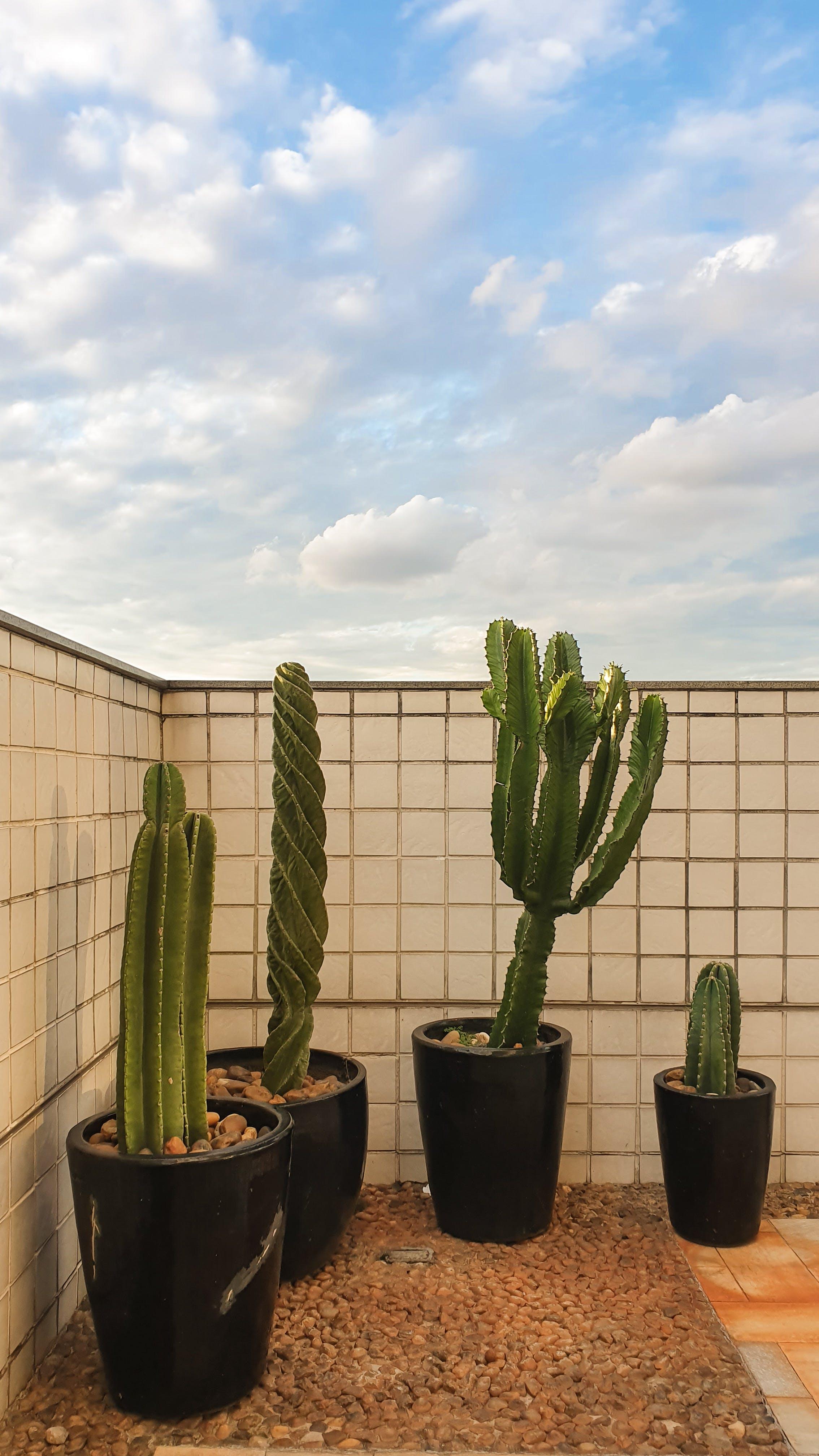 Four Green Cacti on Black Pot
