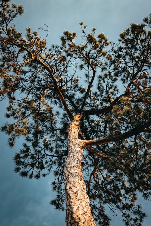 Low-angle Photography of Tall Tree Under Blue Sky