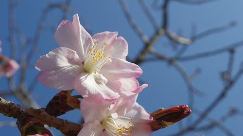 Kiraz çiçekleri içeren Ücretsiz stok fotoğraf