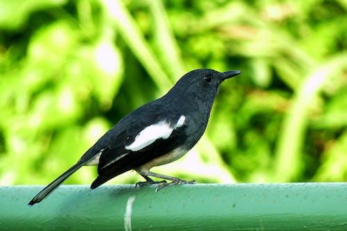 Free stock photo of Magpie Robin, nature, robin, wild