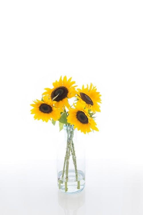 向日葵, 明亮, 美麗的花朵, 背光 的 免費圖庫相片