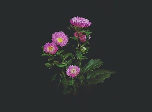 Gratis stockfoto met donker, groen blad, roze bloemen, zwarte achtergrond