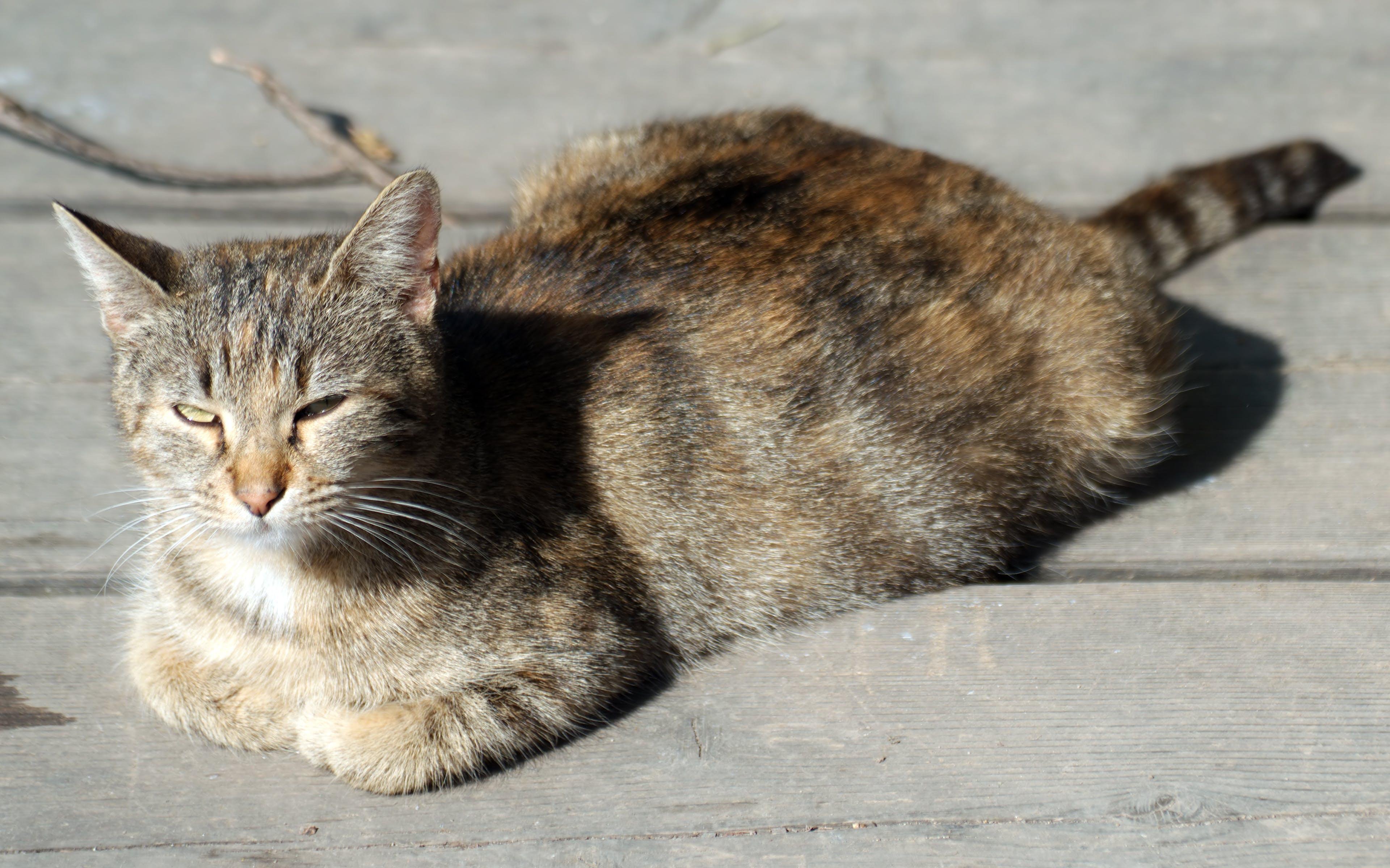 Free stock photo of animal, feline, grey cat sitting down, pet