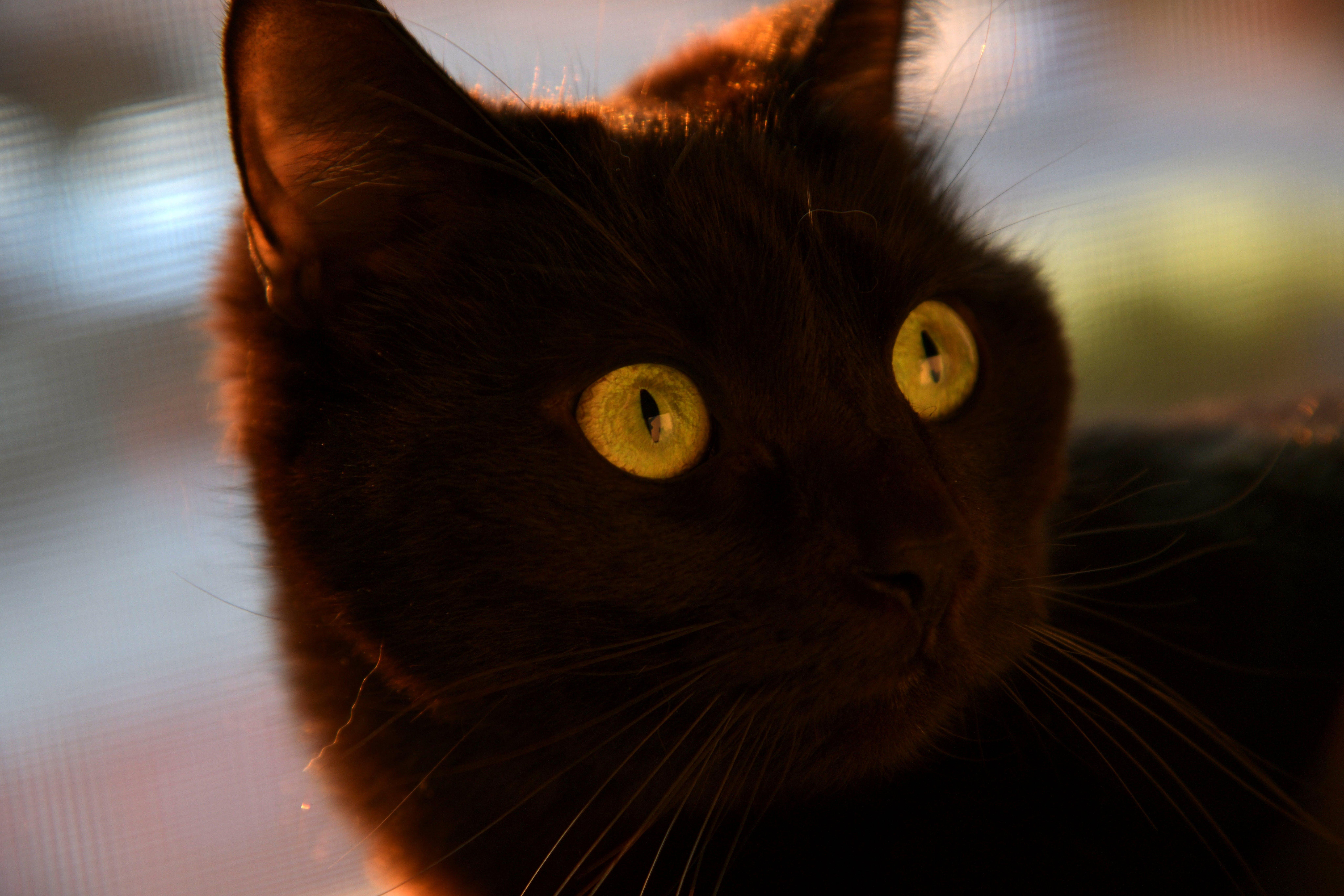 Foto d'estoc gratuïta de capvespre, gat negre, ulls grocs