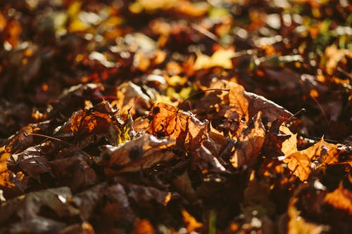Dried Up Maple Leafs on Ground Selective Focus Photography