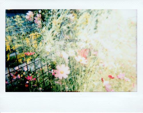 Foto d'estoc gratuïta de borrós, botànic, brillant, colorit