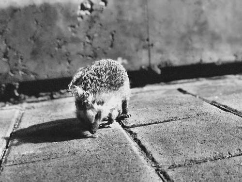 Free stock photo of black and white, hedgehog